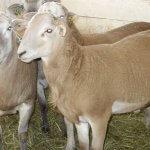 Селекционеры Ленинградской области получили новую породу овец
