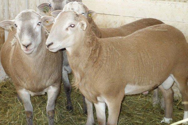 Селекционеры Ленинградской области вывели гладкошерстную овцу