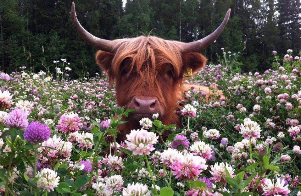 Корова в зарослях клевера