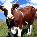 В Северной Осетии развивают экологическое молочное производство