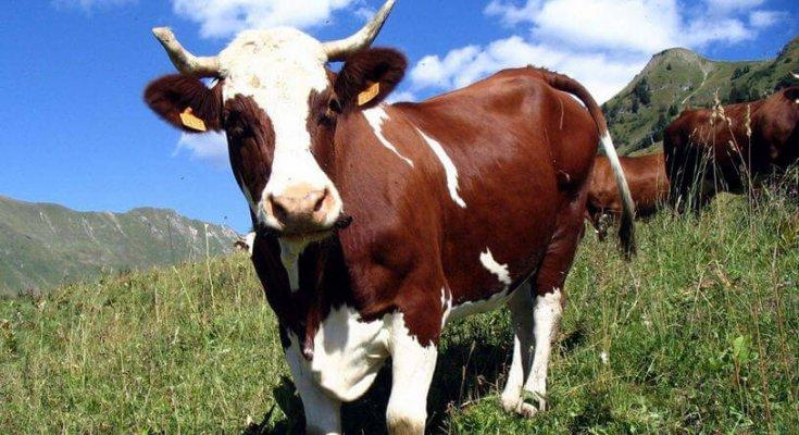 В Осетии начнут производить экоглогически чистые молочные продукты