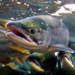В Вологодской области начнут выращивать красную рыбу