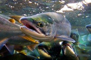 завод лососвых появится в Вологодской области
