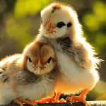 Ученые предлагают заменить антибиотики в сельском хозяйстве фитобиотиками