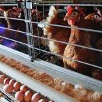 В Крыму активно развивают птицеводческое производство