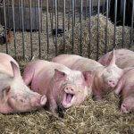 На свиноводческий комплекс «Петровский» привезли ирландских хряков