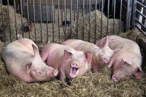 Ирландские хряки прибыли на свинокомплекс Петровский