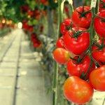 Каширский тепличный комплекс увеличивает посевные площади