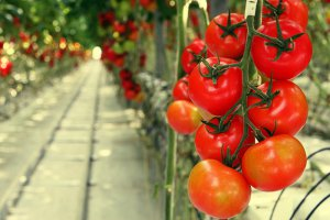 Каширский тепличный комплекс расширяет производство овощей