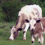 На Алтае телят буду вынашивать суррогатные коровы