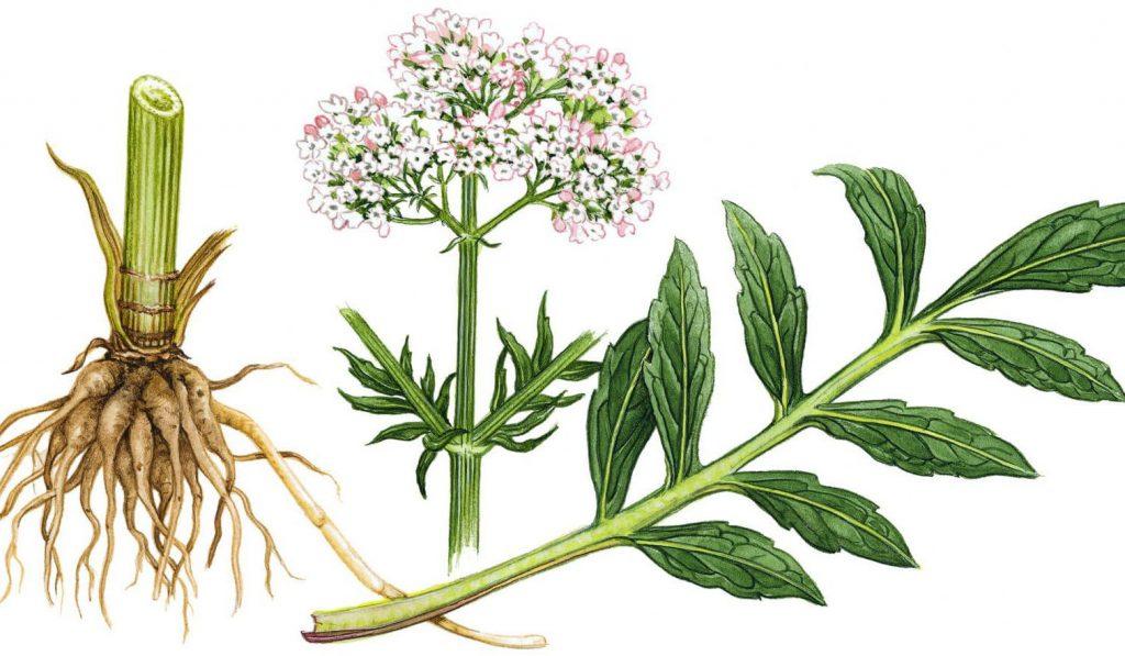 Части валерианы: корень, лист, соцветие