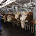 В Нижегородской области начали постройку трех  животноводческих комплексов