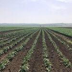 В Приморском крае выращивают семена элитного картофеля и риса