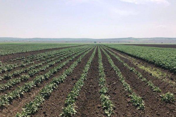 В Приморском крае выращивают элитные семена картофеля местной селекции