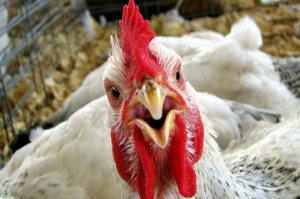 В целях предупреждения разноса вируса птичьего гриппа предлагется запретить продажу живой птицы