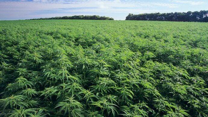 В Нижегородской области выращивают техническую коноплю