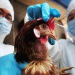 В агрохолдинге «Черкизово» зафиксирован очаг птичьего гриппа