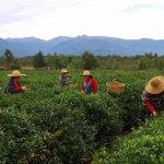 В Краснодарском крае восстанавливают плантации чая