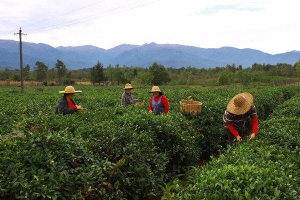 В Краснодарском крае началась уборка чая