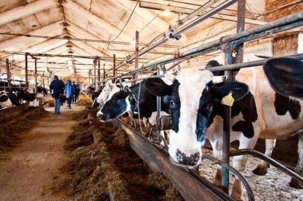 В Кострмской обасти возводится крупный животноводческий комплекс