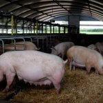 Компания «РусАгро-Приморье» принимает первую партию датских свиноматок