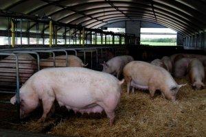 В ТОР Михайловский компания Руагро завезла первую партию свиноматок из Дании