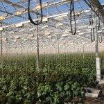 В Ростовской области свежие томаты и огурцы будут выращивать круглый год