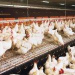Компания «Черкизово» планирует строительство бройлерной птицефабрики в Воронежской области