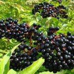 Посадка и свойства бузины черной, уход за растением