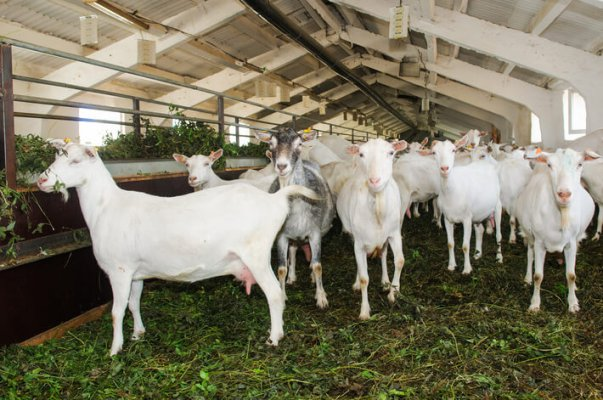 Козья ферма «ЛукозСаба» увеличивает поголовье животных