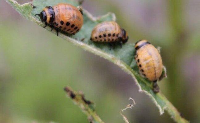 Крымские биохимики создали новые инсектицидные препараты