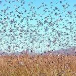 В первой половине июле в Астраханской области ожидается атака марокской саранчи