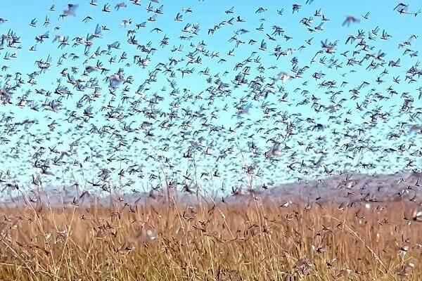 В Астраханской области готовы к нашествию саранчи