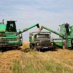 В Омской области созревание зерновых культур проводится по специальной методике