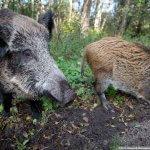 В Калининградской области полностью ликвидируют свиное поголовье крупнейшего свиноводческого комплекса