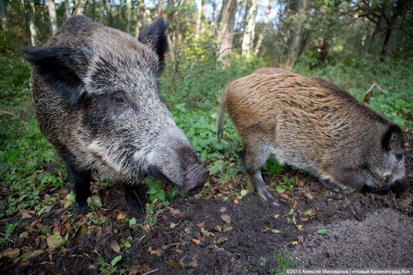В Калининградской области уничтожают все поголовье свиней на крупнейшем свиноводческом комплексе