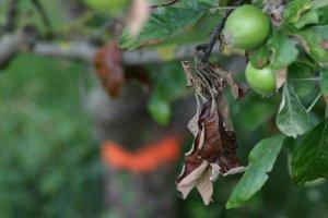 В Брянской области выявлен очаг заражения плодовых культур вирусом бактериального ожога