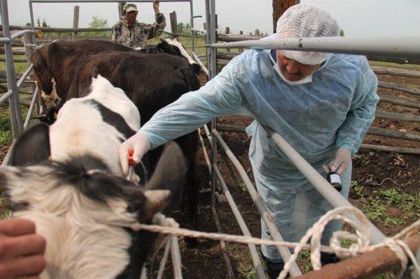 Узелковый дерматит нащи у коров в Курганской области