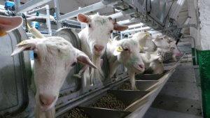 """Агрохолдинг """"Лукоз"""" собирается создать в Башкирии козьи фермы и перерабатывающее производство"""