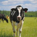 В Подмосковье появится современная молочно-товарная ферма