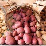 Южно-уральские селекционеры предлагают аграриям новые сорта картофеля