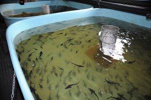 В Псковской области строятся два рыбозавода