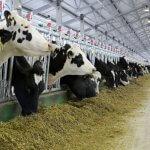 Молочно-товарные фермы в Ленинградской области на американские деньги