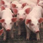 Селекционно-генетический центр «Агро-Белогорье» пополнился новыми животными