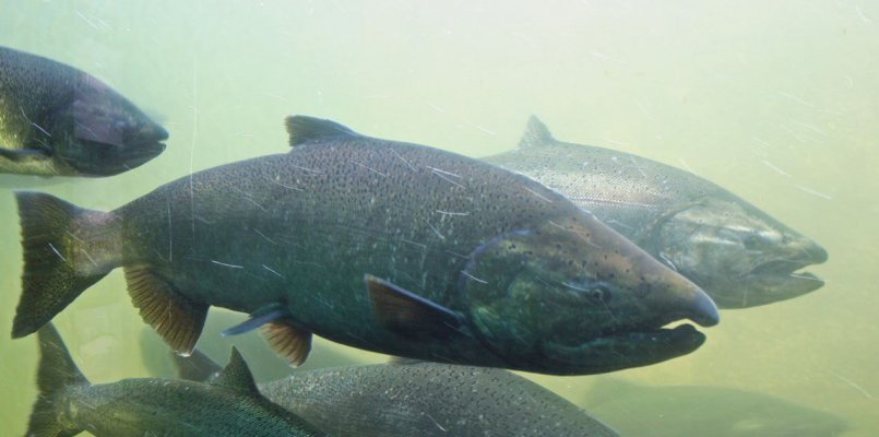Добычу западнокамчатской чавычи могут полностью запретить