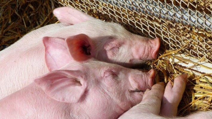 На территории Хабаровского края появится еще одни новый свинокомплекс