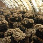 В Пермском крае создается крупное производство грибов