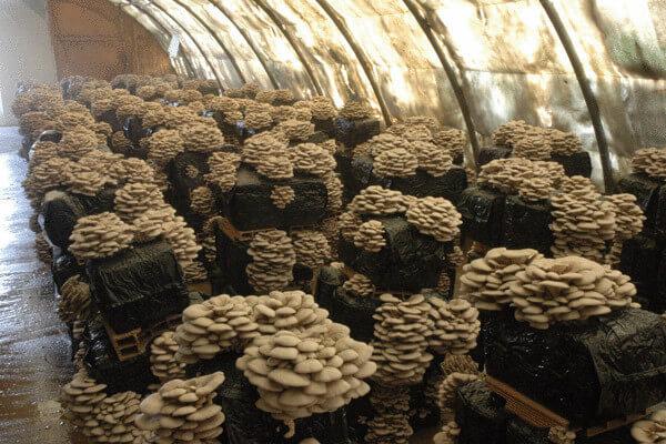 В деревне Качка Пермского края открывается завод по выращиванию грибов