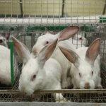 В Костромской области будут выводить чистопородных  мясных кроликов
