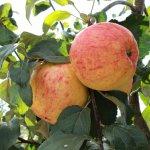 Самый северный яблоневый сад находится в Новгородской области